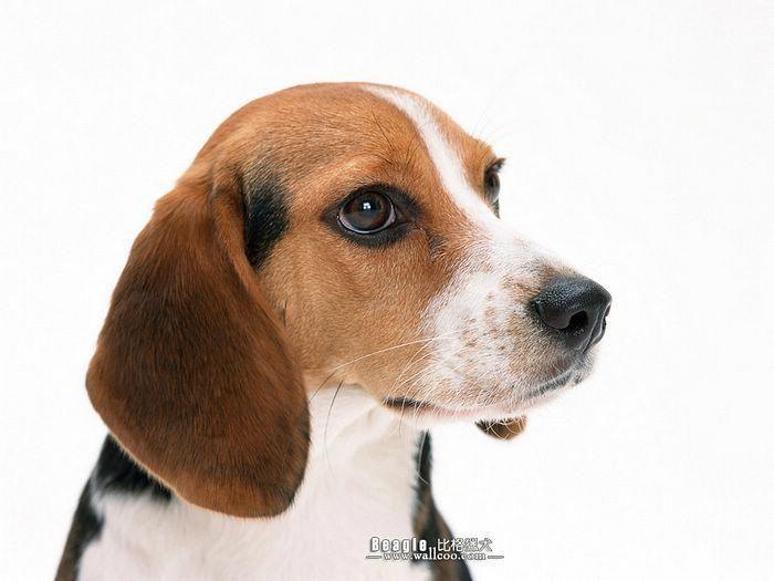 Beagle Friendly And Curious Beagle Dog Beagle Dog Breed Beagle Puppy