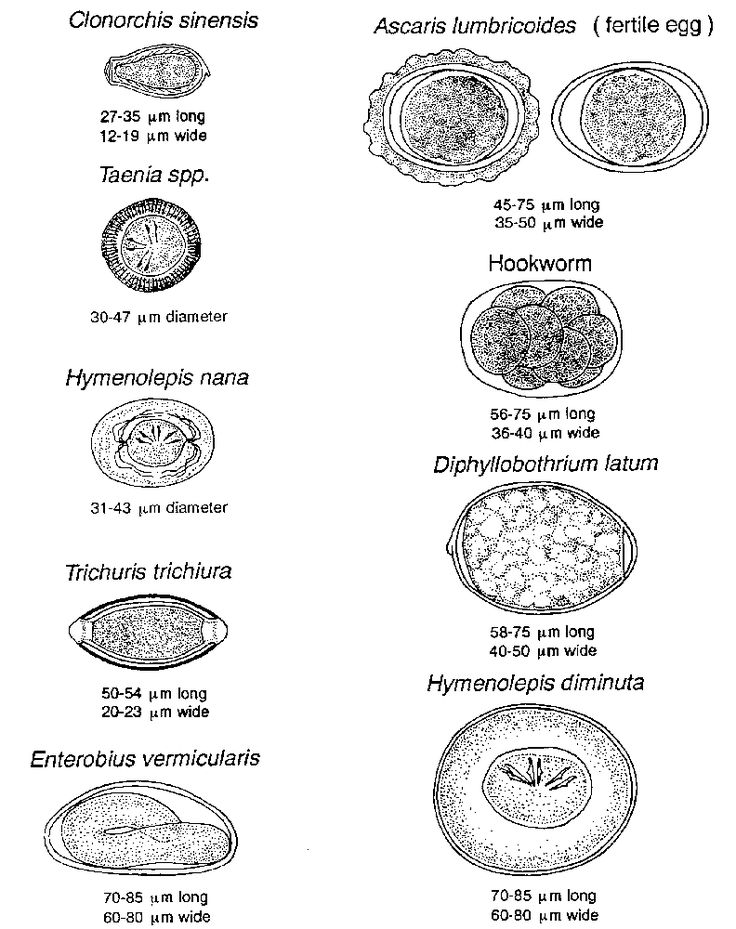 Helminthes (oeufs)
