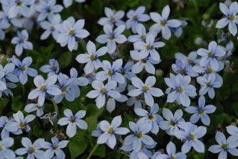 Dauerblühender Bodendecker - Pratia pedunculata - Blauer Bubikopf