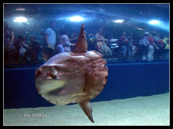 Pez Luna con visitantes contra el cristal – Oceanografic, Aquarium de Valencia