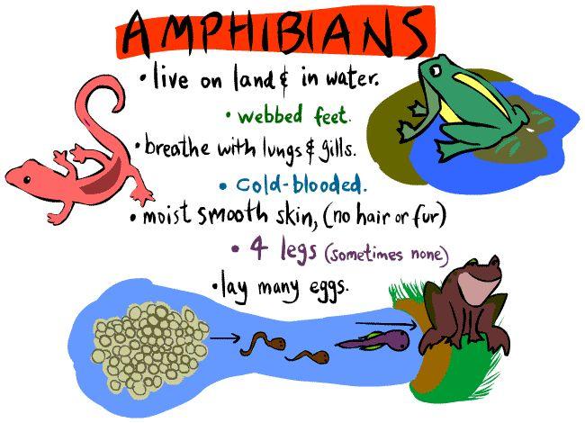 types of amphibians | Kid's Corner - Amphibian Page