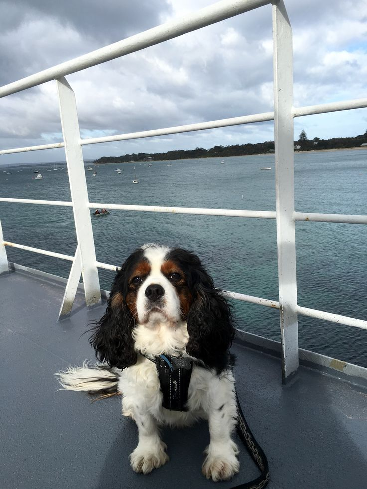 Queenscliff ferry to Sorrento a fabulous day out and you can take your furry friends  mozart loved it