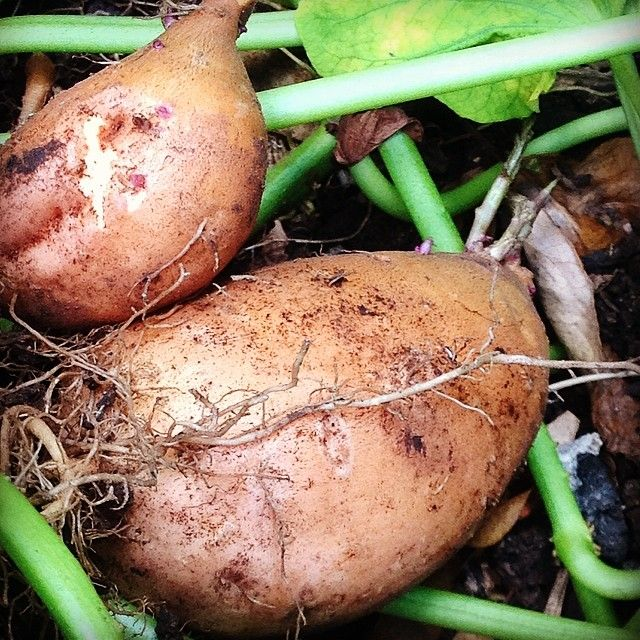 Lunch time. Harvesting my lunch. #homegrown #organic #sweetpotatoes #simplepleasures #gillianbell #brisbane
