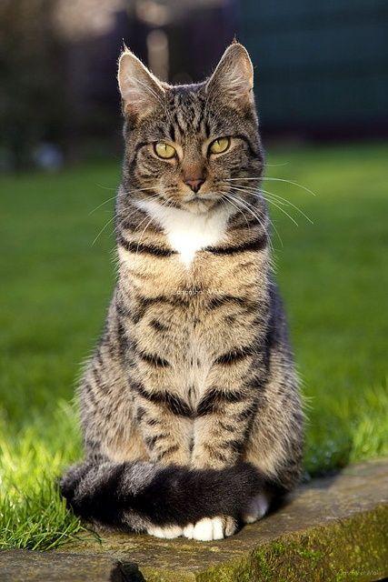 Best 25 Tabby Cats Ideas On Pinterest Tabby Cat Names