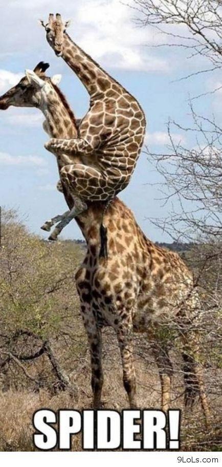 40aa85ad045205665ec663e434c65fff funny giraffe giraffes viac ako 25 najlep��ch n�padov na pintereste na t�mu giraffe meme,Giraffe Meme