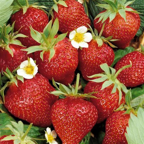 Tips voor het kweken van veel en lekkere aardbeien op je balkon of dakterras. Kleine tuin? geen probleem! Aardbeien doen het overal