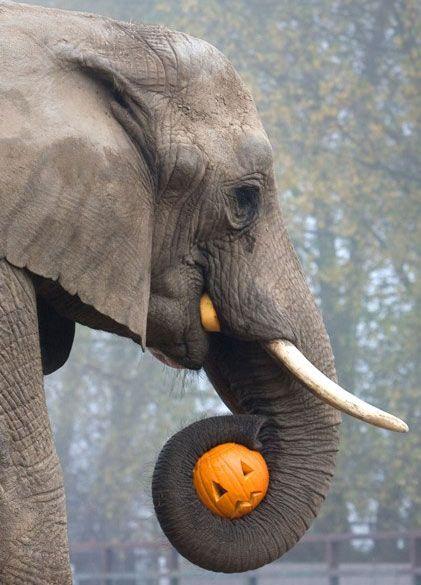 Elephant & Pumpkin by totallywild via telegraph.co.uk #Photography #Elephant #Pumpkin