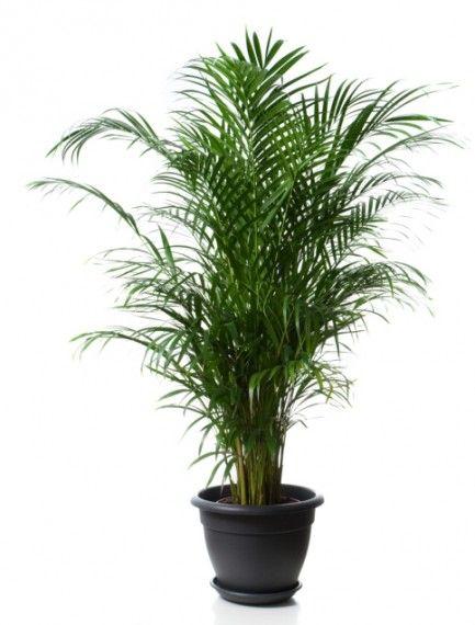 Palmera areca crecen bastante exquisito follaje y - Macetas para interiores ...