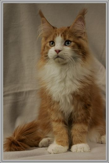 Kiwano's Can Oodle…maine coon!