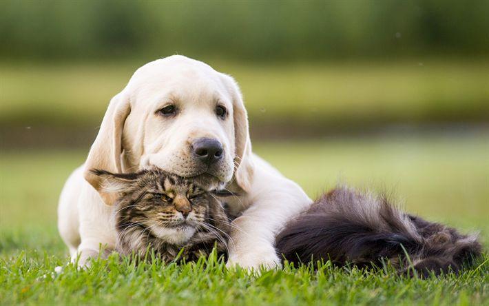 Download wallpapers labrador, friendship, puppy, kitten, cute animals, pets, cats, dogs, golden retriever