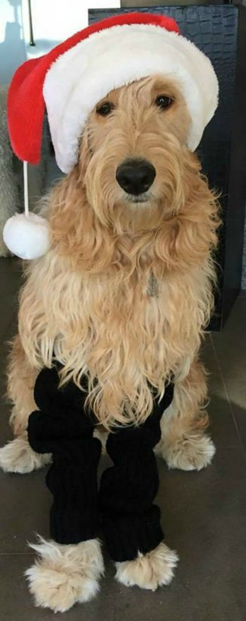 Arizona Goldendoodle Christmas dog