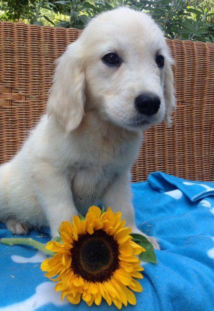 Cuccioli Golden retriver