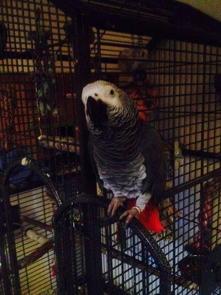LOST AFRICAN GREY: 03/06/2017 - Carshalton, Sutton, Greater London, England, United Kingdom. Ref#: L32976 - #ParrotAlert #LostBird #LostParrot #MissingBird #MissingParrot #LostAfricanGrey #MissingAfricanGrey