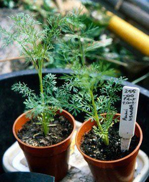 Artemisia annua (sweet wormwood)