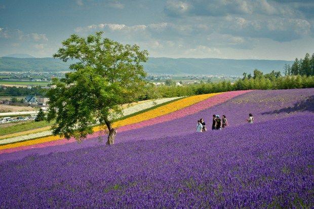 Lavender at Farm Tomita, Furano, Hokkaido.