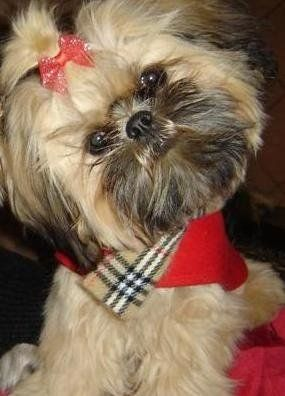 Shorkie Tzu puppy - Courtesy of Pricelesspups