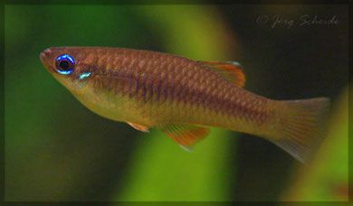 17 Best Images About Tropical Freshwater Fishes