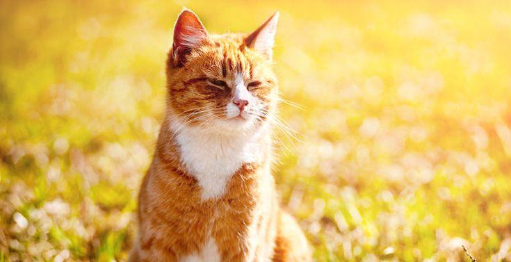 Говорят, что нельзя судить о книге по ее обложке. Зато цвет кошачьей шкуры, похоже, позволяет судить о характере животного.  Кошки черепахового окраса (черно-бело-рыжие) давно славятся своим …