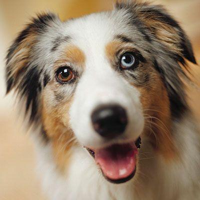 Australian Shepherd Puppy Tricks - 4 Months Old - YouTube