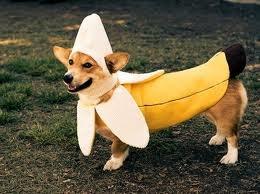 This corgi in a banana costume~