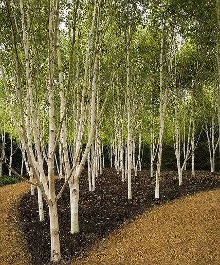 Betula utilis 'Jacquemontii' - Other Trees › Birch | Maplestone Ornamentals The…
