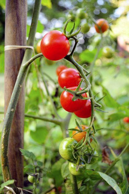 Een tomatenplant verzorgen doe je zo. Met instructie video over dieven