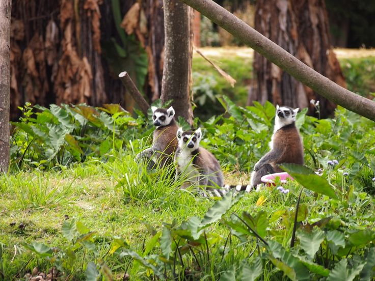 Ringtailed lemurs, image sent by our travellers Richard and James