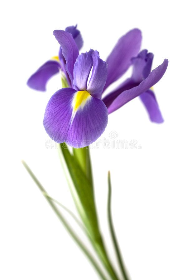 Iris Single Iris Flower On Stem With Selective Focus Isolated On White Backgrou Affiliate Flower Stem Flowers Photography Iris Flowers Amazing Flowers