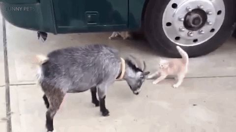 Fearless Cats Who Aren't Afraid Of Wild Animals – 10 GIFs