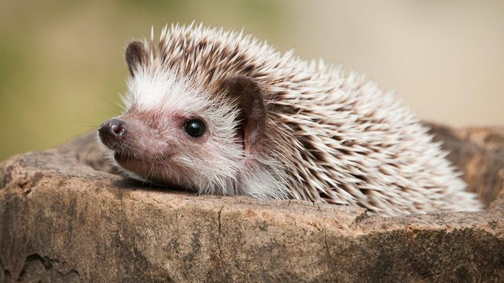 25 Pictures That Show Hedgehogs are the Cutest #hedgehogs #funnyanimals #animalpics #cuteanimals #adorablepictures