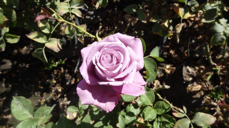 Rosa color lila