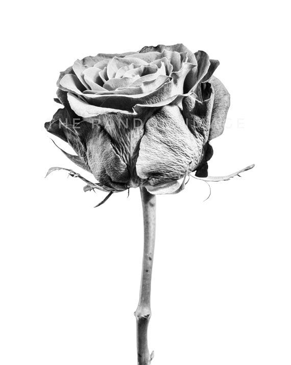 Black White Art Monochrome Rose Print Large Floral Photography