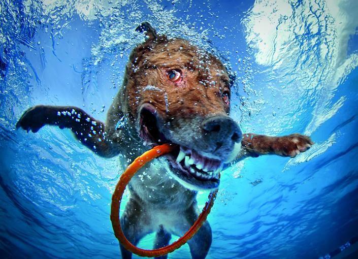 Mit einem Tauchring im Mund und ausgestreckten Vorderbeinen sieht es fast so aus als würde dieser Hund fliegen.