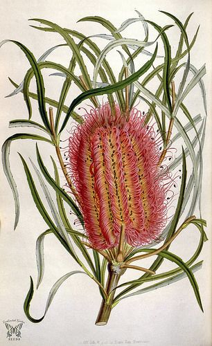 Red Swamp Banksia. Banksia occidentalis. Houtte, L. van, Flore des serres et des jardin de l'Europe, vol. 6 (1850-1851)