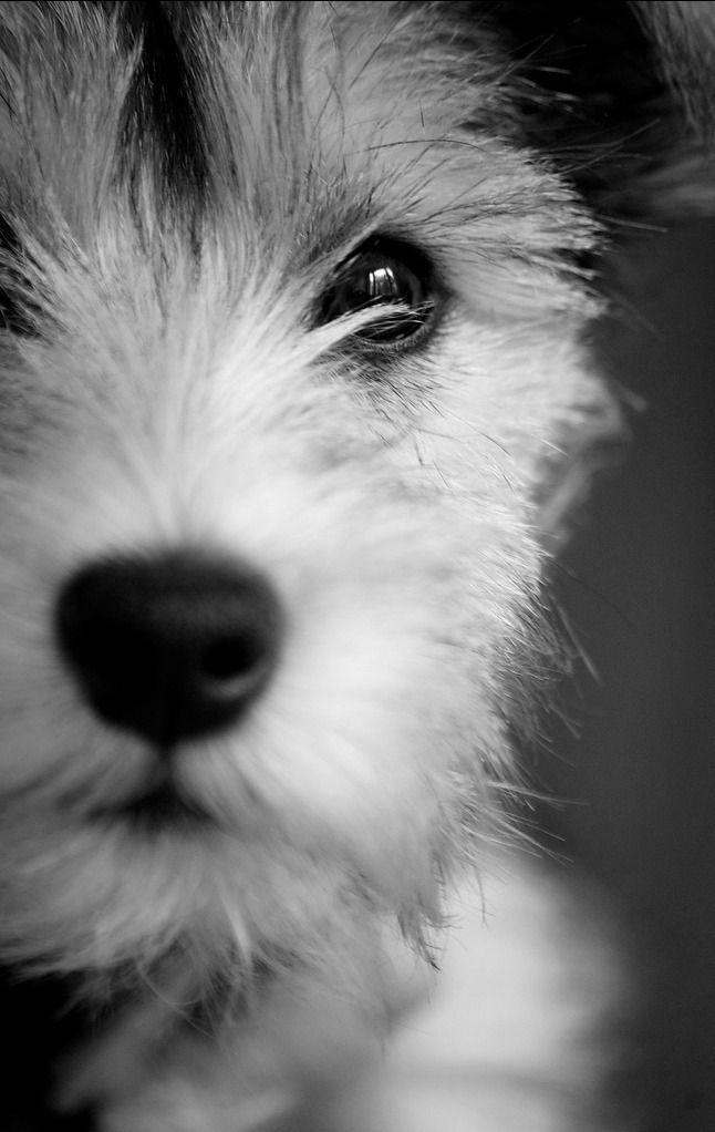 sweet face.... @KaufmannsPuppy