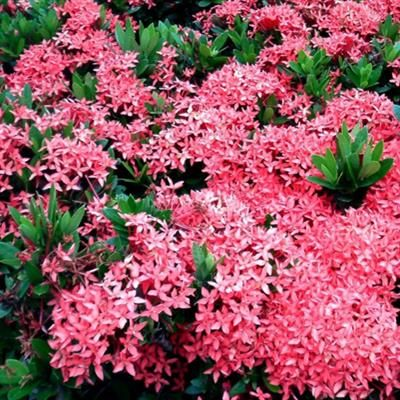Ixora Javanica Malay pink Growing to 1.2m x1.2m this Ixora is always full of large bright pink flowers, flowering all year through. Fast growing and hardy. Full sun required.