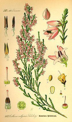 250px-Illustration_Calluna_vulgaris0.jpg (250×418)