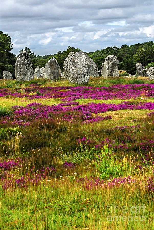 Heather blooming among prehistoric megalithic monuments menhirs in Carnac area…