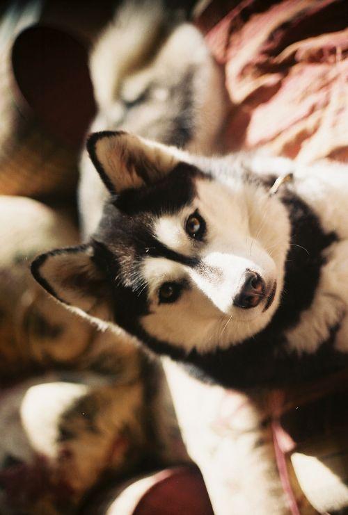 siberian husky or malamute <3