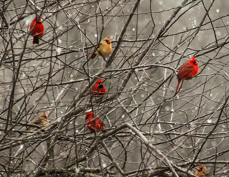 Not for commercial use!!! This is my own image taken here in Southen Ohio of the cardinals awaiting their turn of our feeder, taken by my Nikon D-70 out my front door window.