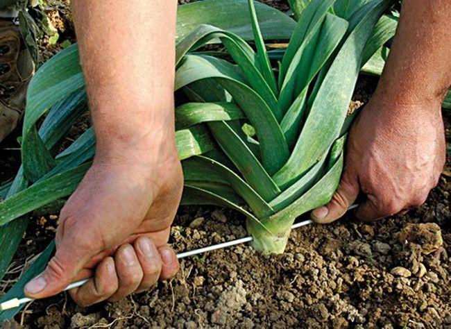 www.rustica.fr - Les légumes perpétuels - Poireau perpétuel