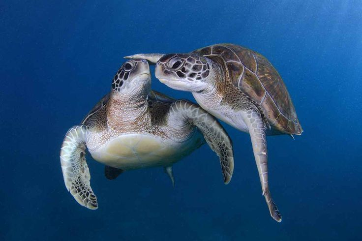 "Shell Shocked: 15 Amazing Sea Turtle Photos""I find myself devoting much time to these curious creatures. When I take a picture, I always try to let the picture tell a story, and transfer feeling into the viewer. It took me hours — and a lot of patience — to capture this perfect moment."" Read more at Scubadiving Magazine"