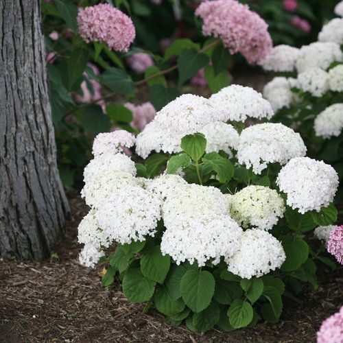 Hydrangea Arborescens Or Smooth Hydrangea Is A Small Zone 4 Shrub That Is About 3 5 Feet High And W Smooth Hydrangea Hydrangea Arborescens Planting Hydrangeas