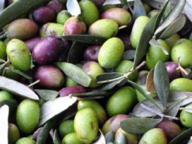 frantoio valtenesi,olivocultura,Polpenazze Del Garda (BS)