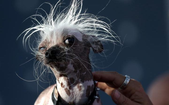 A Chinese Crested dog named Rascal watches proceedings during the 2017 World's Ugliest Dog contest at the Sonoma-Marin Fairin Petaluma, California, USA