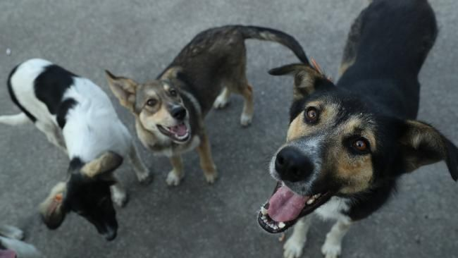 The forgotten dogs of Chernobyl, descended from abandoned pets after the nuclear disaster