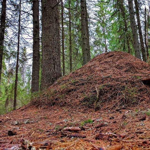 Finnish nature during spring time. Part 13 #finland #nature  #spring #beautiful #suomenkevät #luonto #luontokuva #kaunista #aamu #winled #winledlighting #woodland #metsä #suomi #suomenluonto #kevät #keko #metsäretki #metsässä #forest #muurahaiset #havumetsä #kuusi #inthewoods