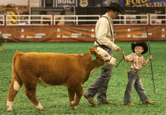 Josh Fulgham walks with his son, Jacob Fulgham, 4, as he shows his miniature Hereford, Jack, at the Houston Livestock Show and Rodeo on March 6, 2012. Photo Cody Duty / Houston Chronicle