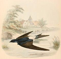 Andorinha-dos-beirais