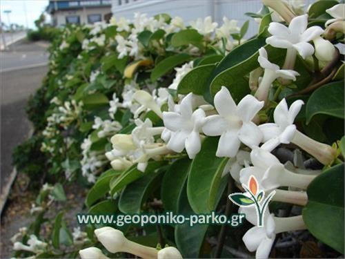 Αειθαλή αναρριχώμενα φυτά : Στεφανωτής αναρριχώμενο | Stephanotis floribunda
